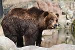 28.3.2020 - komentované krmení medvědice Kamčatky v brněnské zoologické zahradě