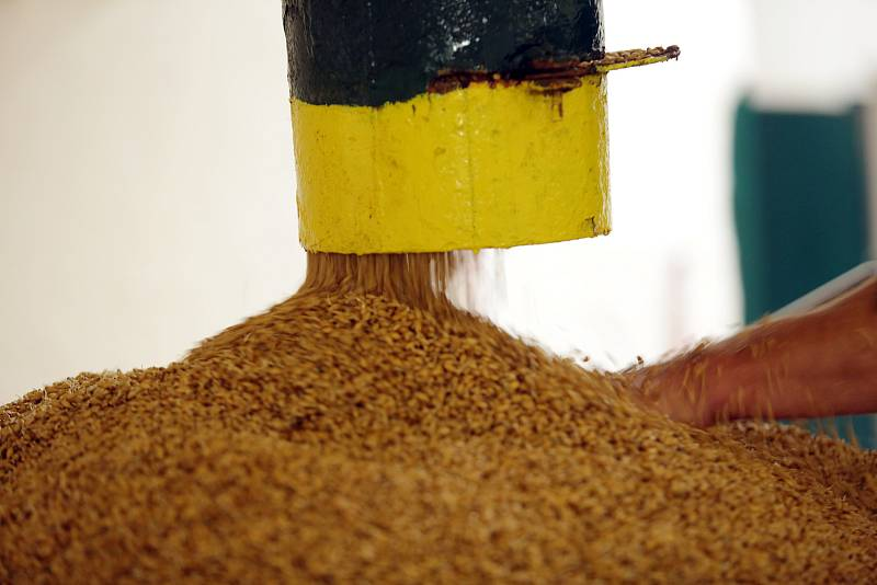 V pivovaru Bernard v Rajhradě používají speciální techniku klíčení sladového ječmene.