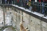 Krmení medvědů v brněnské zoo (lední medvědice Cora).