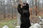 Krmení medvědů v brněnské zoo (kamčatský samec Jelizar).