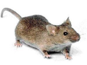 Myš. Ilustrační foto.