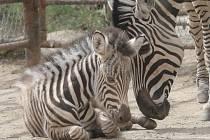 Arwen. Tak se jmenuje samička zebry Chapmannové, která se narodila v brněnské zoologické zahradě.