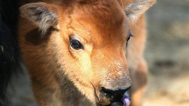 Bizoní stádo se rozrostlo o samičku. Chovatelé jí dali jméno Kotletka