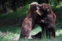 Medvědice Kamčatka a její partner Jelizar.