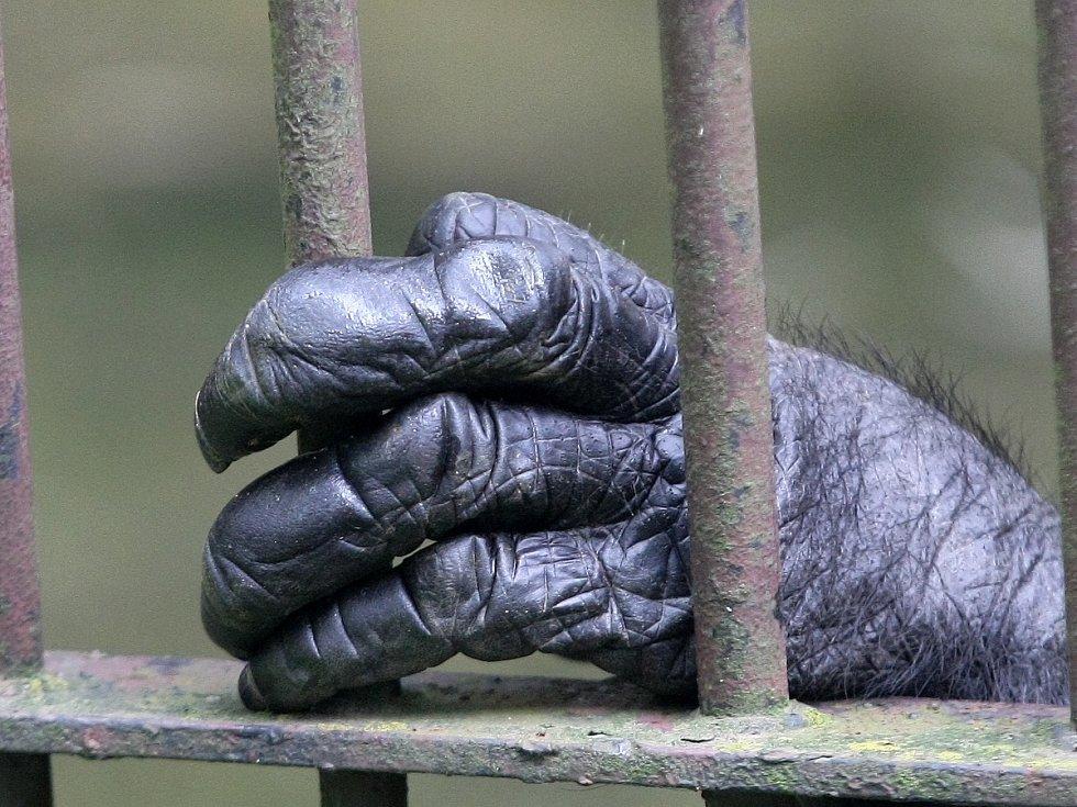 Šimpanze Ginu, Mary a Fábena přesunuli chovatelé do jedné klece.