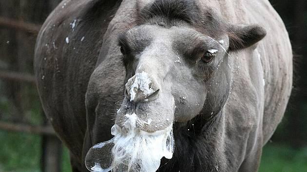 Kuriózní pohled se v těchto dnech naskytne lidem, kteří zavítají do brněnské zoo. Třináctiletý velbloudí samec Romeo totiž vypadá, jak kdyby ponořil hlavu do šlehačkového dortu.