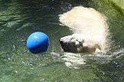 Samec ledního medvěda Umca v brněnské zoo. Uhynul v sobotu 18. srpna.