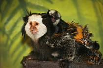 V brněnské zoo se radují z přírůstků, mláďata mají surikaty i kosmani běločelí.