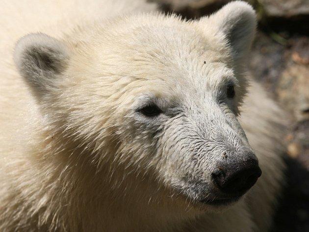 Bezmála pětatřicet tisíc se zatím vybralo ve veřejné sbírce na lední medvědy. Lidé na jejich chov od letošního března odeslali téměř tisíc tři sta dárcovských sms.