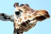 Žirafa z brněnské zoologické zahrady.