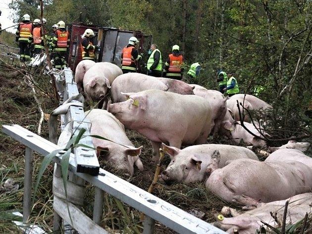 Převrácený kamion s prasaty zablokoval dálnici D1 na 168. kilometru u Devíti křížů. Uhynuly desítky vepřů.