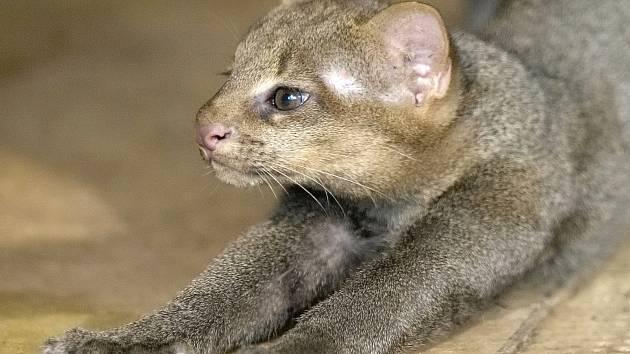 První úspěšný odchov mláděte šelmy jaguarundi v brněnské zoo v roce 2012. Letošního listopadu samice porodila další kotě. Zatím jej ale střeží tak žárlivě, že chovatelé o mláděti vědí jen to, že se narodilo.