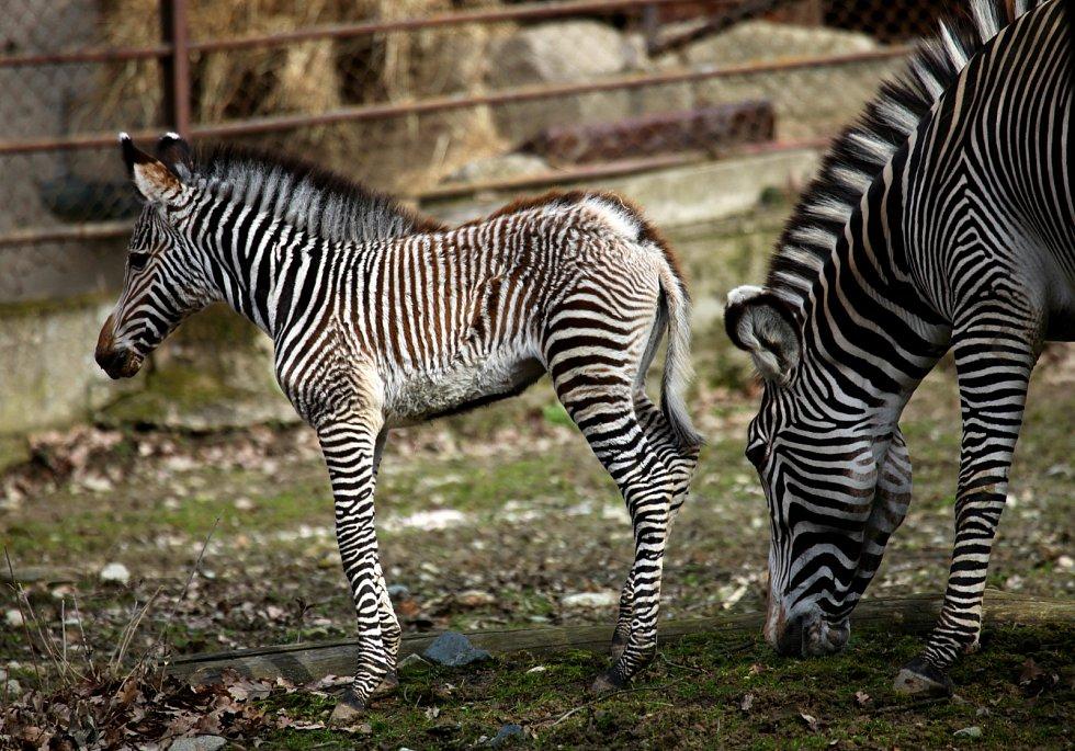První letošní mládě v brněnské zoo je samička zebry Grévyho Mia. Narodila se před měsícem