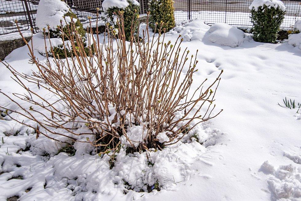 Aprílové počasí ukazuje oba své póly na jihu i severu kraje. Zatímco na jihu kvetou na slunci hlaváčky jarní v chráněné oblasti Horky u Milotic, na severu ve Veselici v nadmořské výšce 600 metrů zasypal květenu nápor sněhu.