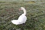 Po Poříčí pochodující labuť.