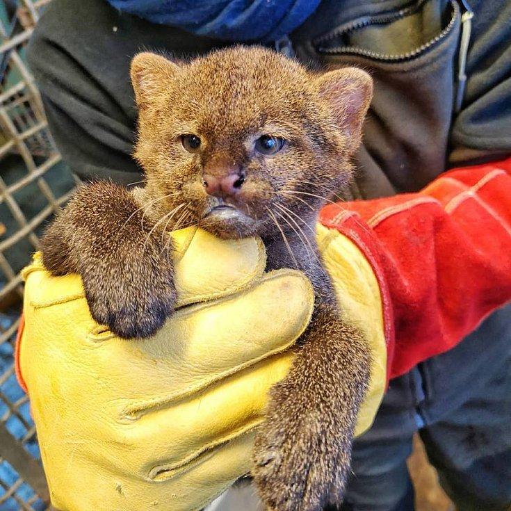 Doteď ho matka střežila tak žárlivě, že chovatelé věděli jenom to, že se narodilo. Tento týden ale mládě jaguarundi, koček příbuzných s gepardy či pumami, absolvovalo svoji první veterinární prohlídku. A ukázalo se, že v zoo vyrůstá malý samec.