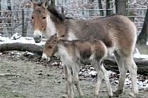 První letošní mládě brněnské zoologické zahrady - kiang Ivan.