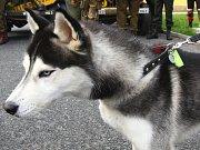 Pes husky - ilustrační fotografie.