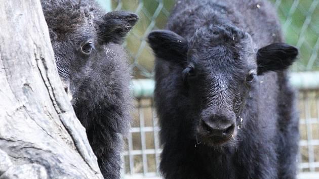Hned dva nové zvířecí přírůstky se narodily minulý týden v brněnské zoologické zahradě. A navíc ve stejném výběhu. Dvě mláďata jaka domácího od sebe dělí pouhé dva dny.