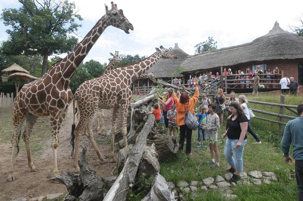 Brněnské žirafy slavily svůj svátek. Nakrmit je mohli i návštěvníci.