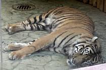 Tygří samec Dua v brněnské zoologické zahradě.