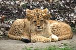 Lidé, kteří do zoo zavítají tuto neděli, si kromě pohledu na zvířata odnesou i zážitek z křestu dvojice lvích mláďat, který začíná ve dvě hodiny odpoledne.