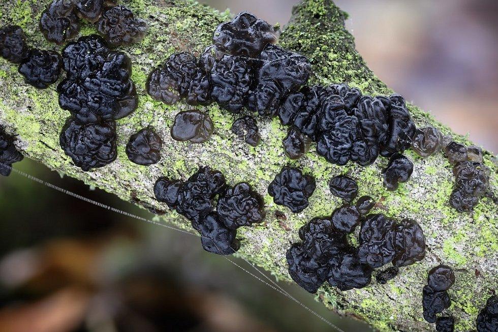 Černorosol bukový – nejedlý. Za vlhkého počasí pokrývá v hustých kobercích každou druhou mrtvou větev.