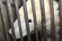 Lední medvěd Tom opouští zoo v Brně.