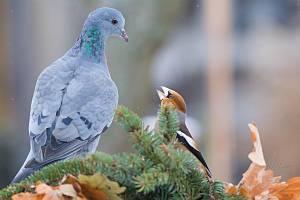 Zachycení ptáků v přírodě je pokaždé plné překvapení. Na snímku jsou holub doupňák a dlask tlustozubý.