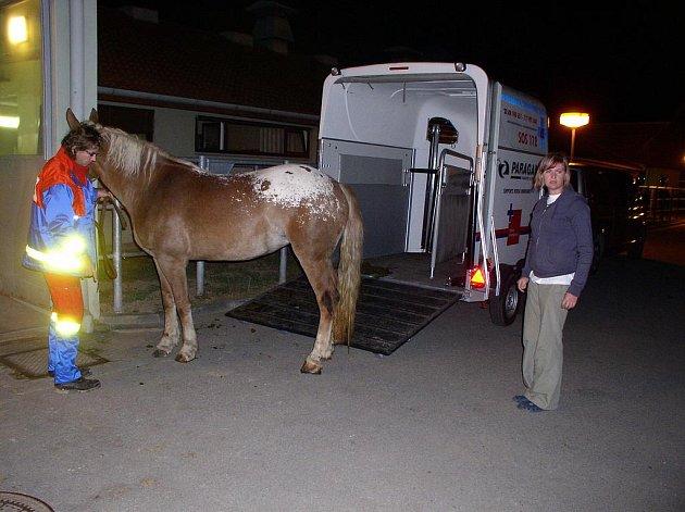Zraněný kůň na příjmu Kliniky chorob koní VFU Brno.