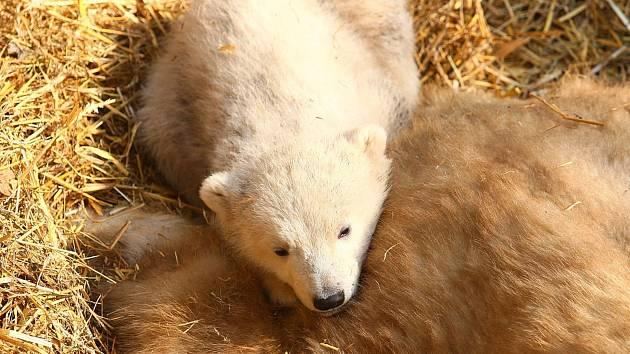 Lední medvědice Cora v sobotu poprvé vyvedla svá mláďata do výběhu v brněnské zoologické zahradě.