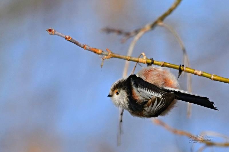 Zachycení ptáků v přírodě je pokaždé plné překvapení. Na snímku je mlynařík dlouhoocasý.