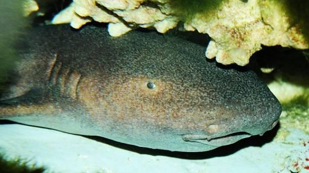 Žralok krátkoocasý.