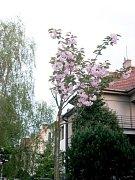 Rozkvetlý strom sakury v Lerchově ulici.
