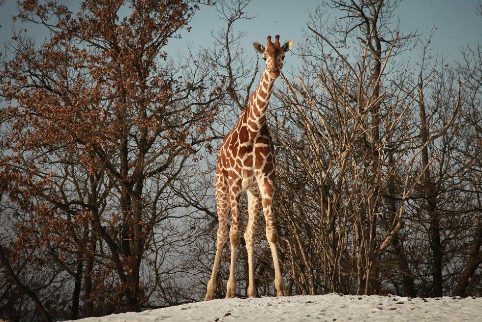 V brněnské zoo lidé nově nakrmí žirafy i v zimě.