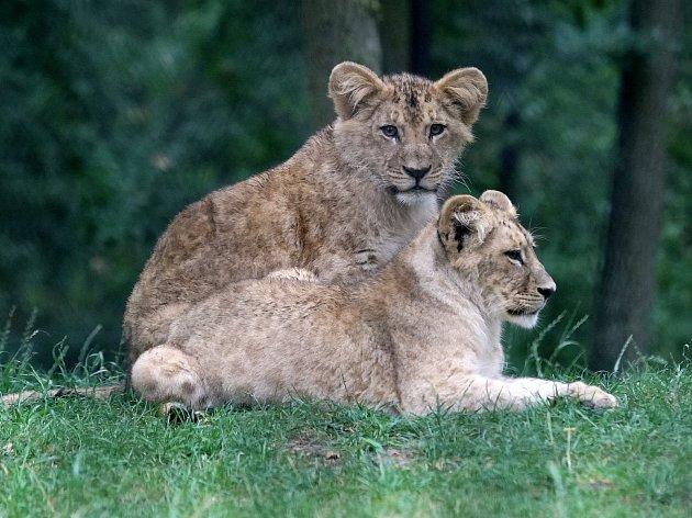 Mláďata lva konžského Anoona a Akashinga.
