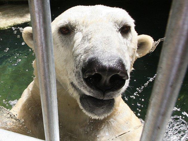 Lední medvěd Umca trávil vysoké teploty v bazénu, kde si hrál s míčem.