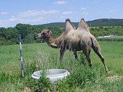 U silnice z brněnských Kníniček do Rozdrojovic se v sobotu pohyboval velbloud, který utekl z nedaleké svatby.