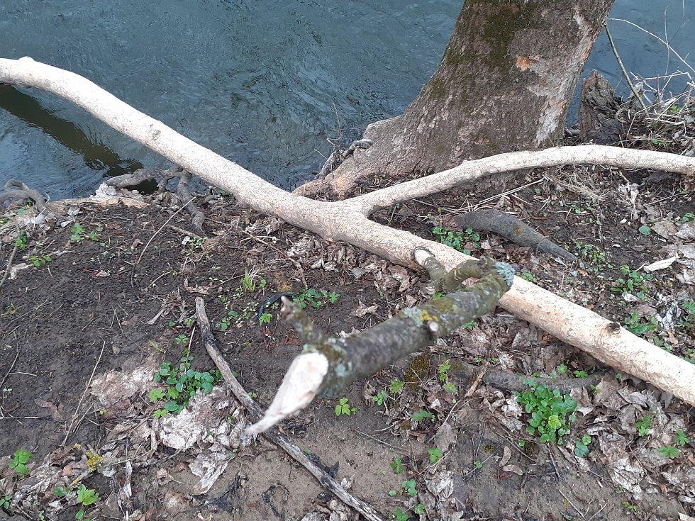 Bobrům evropským na Blanensku chutná. Okousané statné kmeny kolem řeky Svitavy míjí lidé například v Adamově. Tam pracovníci Povodí Moravy museli v uplynulých třech letech pokácet devět poškozených stromů.
