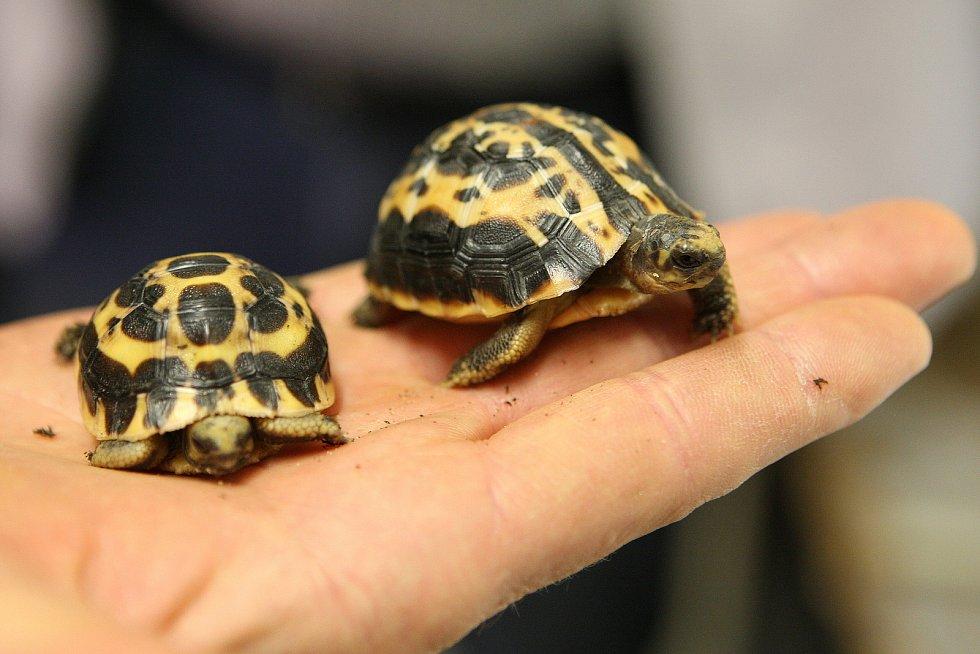 Mláďata želvy pavoukovité v brněnské zoo.