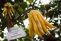 Až 120 druhů citrusů mohou od čtvrtka spatřit návštěvníci na výstavě botanické zahrady Masarykovy univerzity v Brně. Kromě citrusů si zájemci mohou prohlédnout i tropické a subtropické užitkové rostliny jako například banánovníky, čajovníky a kamélie.