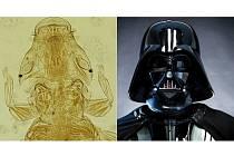 Podobně jako fiktivní postava ve světě Star Wars čili Hvězdných válek zvaná Darth Vader vypadá podle týmu vědců z Veterinární a farmaceutické univerzity v Brně nový druh hmyzu.