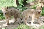 Vlk arktický z brněnské zoo.