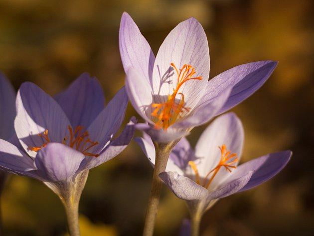 Před Střediskem volného času Lužánky mohou děti po cestě na kroužky spatřit i v listopadu rozkvetlé rostliny. Vykvetl zde totiž ocún jesenní.