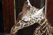Do brněnské zoo přicestoval ve středu ráno dvouletý žirafí samec.