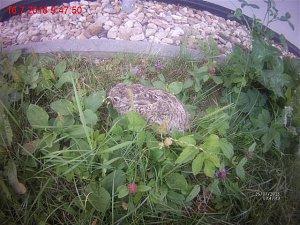 Strážnice pomohly mláděti zajíce