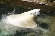 Lední medvědi v Brně mají ve výběhu i led, na kterém se mohou zchladit.