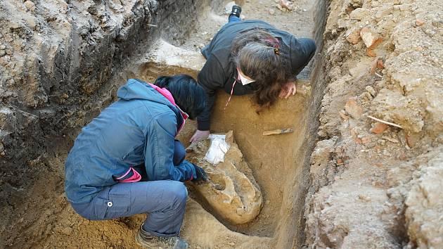 Archeologové z organizace Archaia Brno při záchranném výzkumu na Vídeňské ulici objevili lebku nosorožce z doby kamenné.