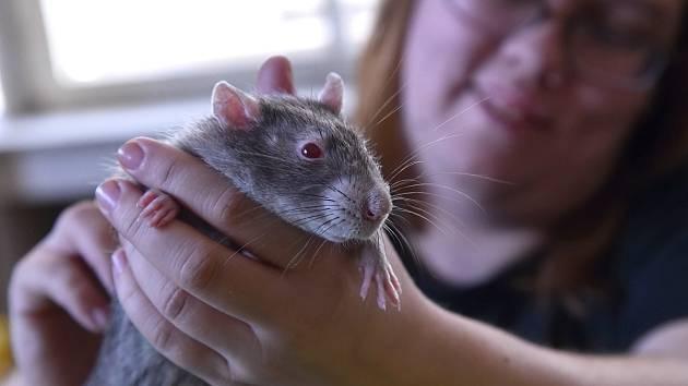 Asi 120 potkanů zaplnilo v sobotu lužánecké centrum volného času. Nikdo z přítomných z nich ale nepanikařil. V čistých klecích a většinou odpočívající v jejich pelíšcích je tam na osmý ročník vánoční výstavy potkanů donesli jejich chovatelé.