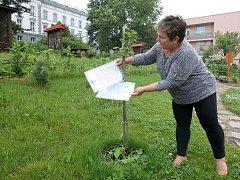 Jeden ze sedmi vzácných štěpů z památného stromu vysadili před měsícem lidé v Ivančicích.
